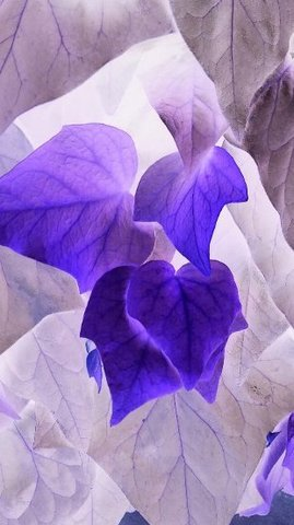 写真・紫のアイビー.JPG