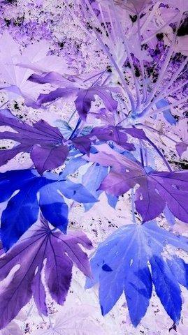 写真・青と紫のヤツデ.JPG